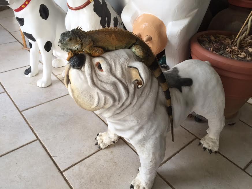 He got on the bulldog statue's head!