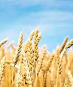 ceramides-found-in-wheat-germ-oil